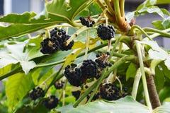 Fruits of Japanese aralia. Spring landscape / Fruits of Japanese aralia Royalty Free Stock Images