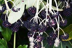 Fruits of Japanese aralia. Spring landscape / Fruits of Japanese aralia Royalty Free Stock Photography