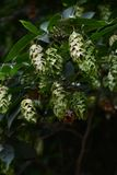 Fruits of Japanese hornbeam stock photography