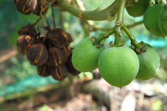 Fruits of Jatropha Curcas. Jatropha Curcas shown with green and black fruit Stock Photos