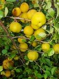 Fruits jaunes de guirlande de coing japonais sur des branches d'un buisson Photographie stock libre de droits