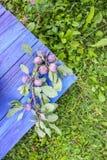Fruits juteux mûrs de prune sur la table en bois bleue âgée dans une orphie d'été photographie stock