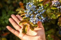 Fruits kept in hand. Stock Photography