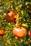 Fruits and leaves of pomegranate Stock Photos