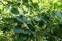 Fruits and leaves of quince. In september Stock Images