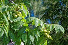 Fruits and leaves of a tree Manchurian nut in the nature. Branches and fruits of manchurian walnut. A huge tree with a lot of large leaves and fruits Stock Photo