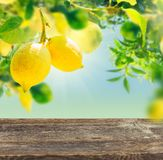 Lemon garden with friuts. Fruits in Lemon garden with copy space on aged wooden table royalty free stock image