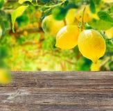 Lemon garden with friuts Royalty Free Stock Photos