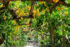 Lemon garden of Sorrento. Fruits in Lemon garden of Sorrento at summer stock photography
