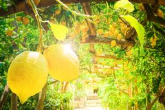 Lemon garden of Sorrento. Fruits in Lemon garden of Sorrento at summer, retro toned stock photo