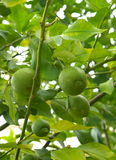 Fruits of lime on a tree branch. The fruits of lime on a tree branch inter leaves stock image