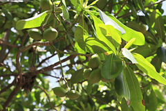 Fruits of lime on a tree. Seychelles royalty free stock photos