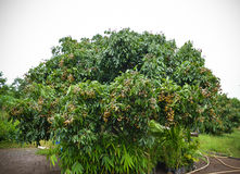 Fruits longan on the tree Stock Images