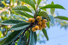 Fruits of loquat. Loquat (Eriobotrya japonica), fruits on a branch with leaves. The end of May, Kutaisi, Georgia Stock Photography