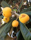 Bio-Loquat tree fruits and leaves stock images