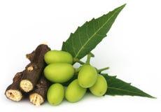Fruits médicinaux de neem avec des brindilles Photos libres de droits