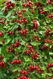 Fruits mûrs d'une aubépine Photographie stock libre de droits