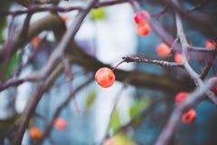 Fruits mûrs et rouges d'ombre de petite prune, pommes chinoises Photos stock