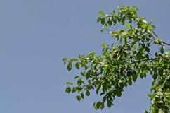Fruits mûrs frais de pruneaux de branche ou prune bleue s'élevant dans la cour de monastère le jour ensoleillé, montagne Balkan,  images libres de droits
