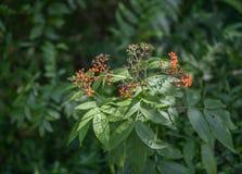 Fruits mûrs croissants de baie de sureau dans la forêt Images stock