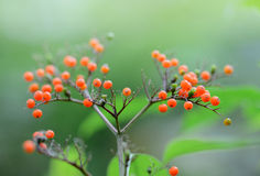 Fruits mûrs croissants de baie de sureau dans la forêt Image stock