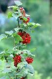 Fruits mûrs d'été rouge de ribes Photographie stock libre de droits
