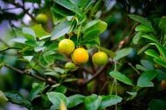 Fruits of mandarin on the branch. Fruits of mandarin on a branch Royalty Free Stock Photos