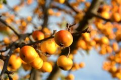 Fruits on a miniature apple tree Royalty Free Stock Images