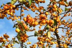 Fruits on a miniature apple tree Stock Photo