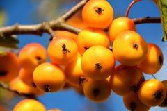Fruits on a miniature apple tree Royalty Free Stock Photo