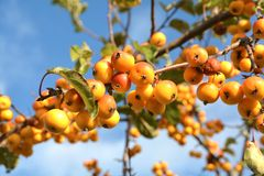 Fruits on a miniature apple tree Stock Images
