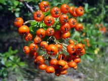 Fruits of the mountain ash Stock Image