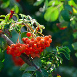 Fruits of mountain ash on bright sunny day. In the forest Royalty Free Stock Images