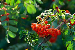 Fruits of mountain ash on a bright sunny day. In the forest. Focus on a bunch of rowan. Shallow depth of field Royalty Free Stock Photos