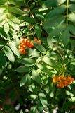 Fruits of mountain ash in the forest. Close-up view stock image