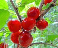 Fruits of the Nanking cherry close-up Royalty Free Stock Photo