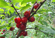 Fruits of the Nanking cherry Royalty Free Stock Images