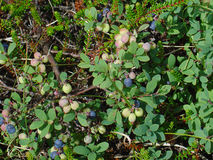 Fruits of the Northern Bilberry Royalty Free Stock Image