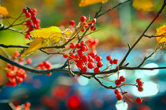 Free Fruits Of Mountain Ash Stock Images - 61814234