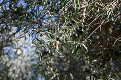 The fruits of olives on a tree branch. Fruits of olives ripen on a branch close-up on a sunny day Stock Photography