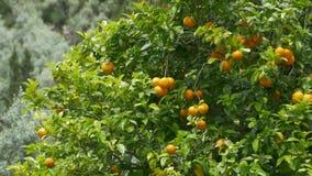 Fruits oranges dans l'arbre banque de vidéos