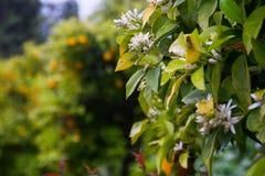 Fruits oranges dans le jardin Photographie stock libre de droits