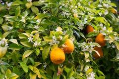 Fruits oranges dans le jardin Images stock