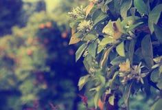 Fruits oranges dans le jardin Image libre de droits