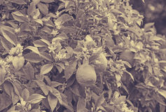 Fruits oranges dans le jardin Photo libre de droits