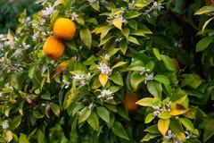 Fruits oranges dans le jardin Photo stock