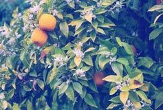 Fruits oranges dans le jardin Images libres de droits