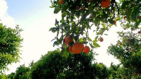 Fruits oranges hanging on branches citrus orchard. Orange garden. Citrus grove