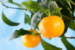 Fruits oranges sur une branche d'arbre contre le ciel bleu images libres de droits