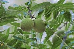 Fruits orientaux de noix noire Photos stock